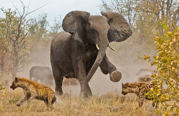 Пошли прочь! Слониха защищает слонёнка от стаи гиен. Национальный парк Чобе, Ботсвана. Фото: Jayesh Mehta/travel.nationalgeographic.com