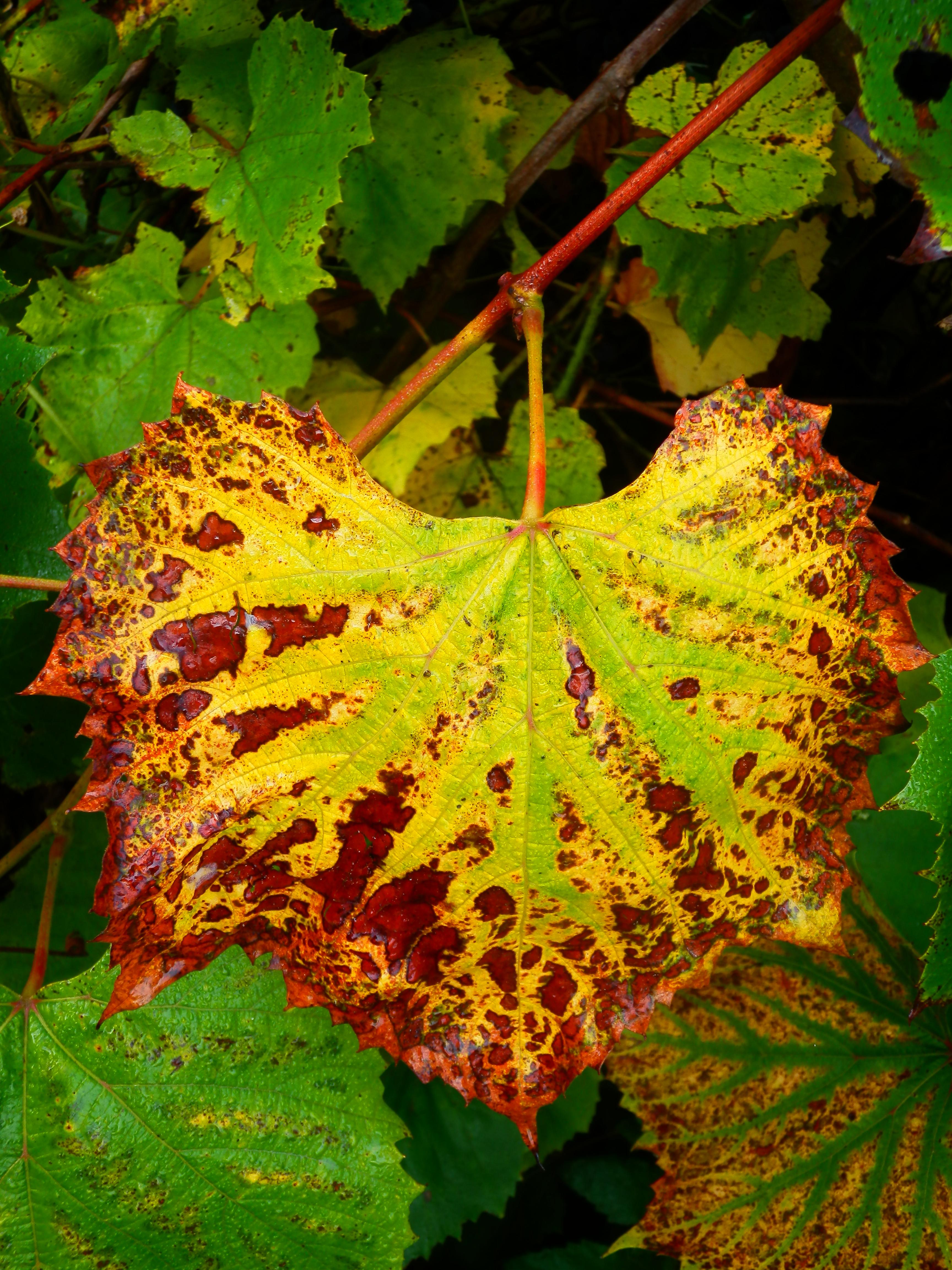 …і виноградне листя — зіржавіли геть-чисто.