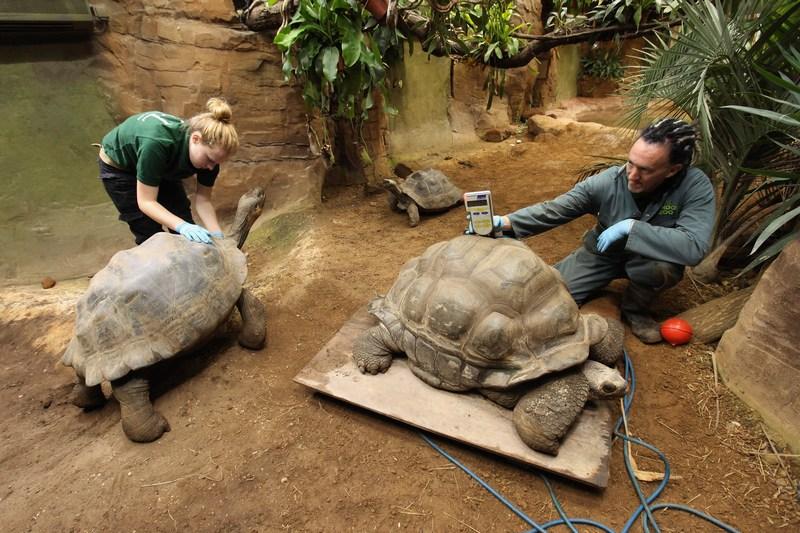 Взвешиваем Дирка, галапагосскую черепаху, в Лондонском зоопарке, Великобритания, 25 августа 2011 г. Фото: Oli Scarff/Getty Images