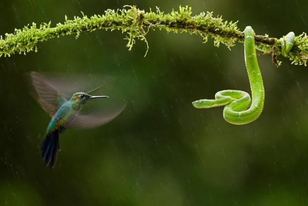 Победителем в группе Мир природы стал Бенс Мате из Венгрии и его фото колибри, атакующего змею. Фото: pravda.com.ua
