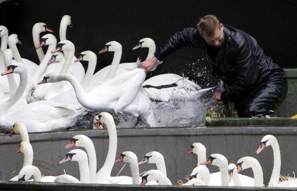 Під час транспортування їм акуратно зв'язують лапки і крила. Лебеді вже звикли до людей і до переселення, тому сильного опору не чинять. Фото: Krafft Angerer/Getty Images