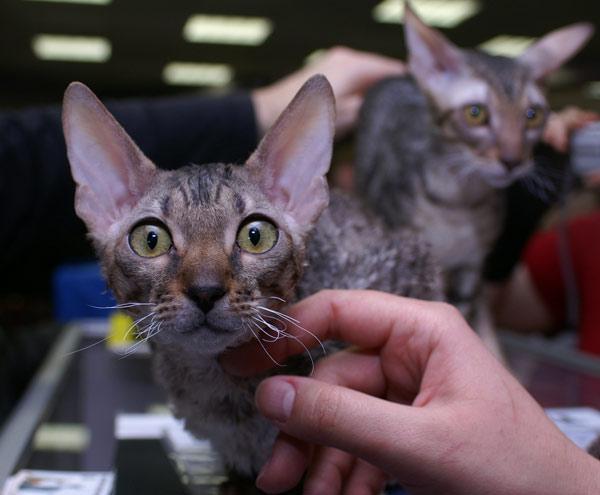 Международная выставка кошек прошла в Харькове. 14 марта 2010г.Фото:Юлия Ламаалем/The Epoch Times
