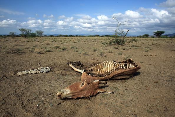 Скелет осла лежит в высохшем русле реки, жертва засухи. Смерть осла – это серьёзный показатель нехватки продовольствия для членов племени Теркана. Фото: Christopher Furlong/Getty Images