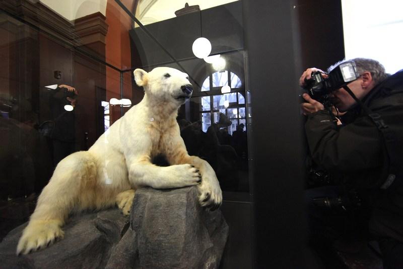 Берлин, Германия, 15 февраля. В Музее естественной истории выставлено чучело любимца посетителей местного зоопарка, белого медведя «Кнут», умершего в 2011 году. Фото: Adam Berry/Getty Images
