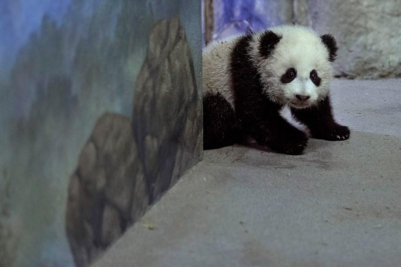 Детёныш большой панды Бао Бао. Фото: Chip Somodevilla/Getty Images