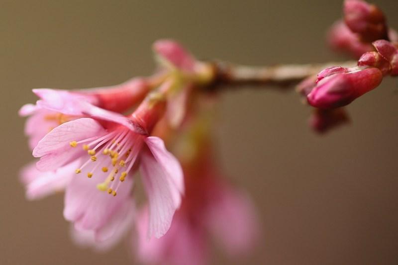 Квітуча вишня. Фото: Dan Kitwood/Getty Images