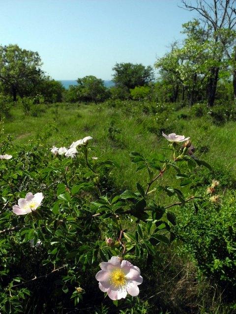 В парке Учкуевка, цветет шиповник на фоне моря. Фото: Алла Лавриненко/EpochTimes.com.ua