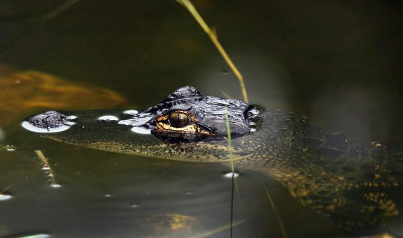 Аллигатор. Национальный парк Эверглейдс, Флорида. Фото: Joe Raedle/Getty Images