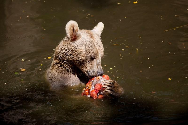 Рамат-Ган, Израиль, 12 июля. Медведь в местном зоопарке, спасаясь от 34-градусной жары, наслаждается замороженными фруктами, овощами и рыбой. Фото: Uriel Sinai/Getty Images