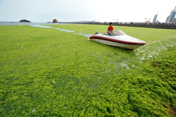 Водоросли на побережье Циндао, провинция Шаньдун. Фото: STR/AFP/Getty Images
