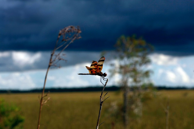 Стрекоза. Национальный парк Эверглейдс, Флорида. Фото: Joe Raedle/Getty Images