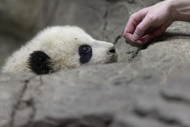 Бао Бао заинтересовала рука зоолога. Фото: Chip Somodevilla/Getty Images
