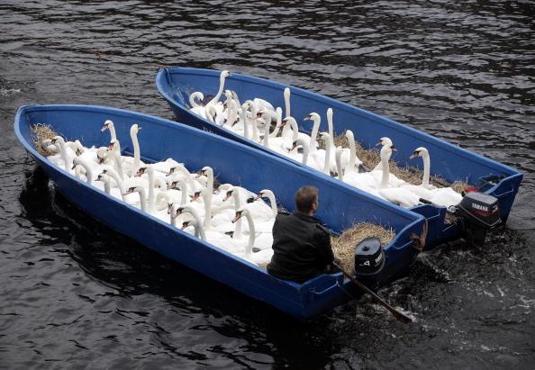Перед тим, як замерзне річка Альстер, що тече через місто, 120 білих лебедів, які живуть на ній, перевозять до місця зимівлі. Фото: Krafft Angerer/Getty Images