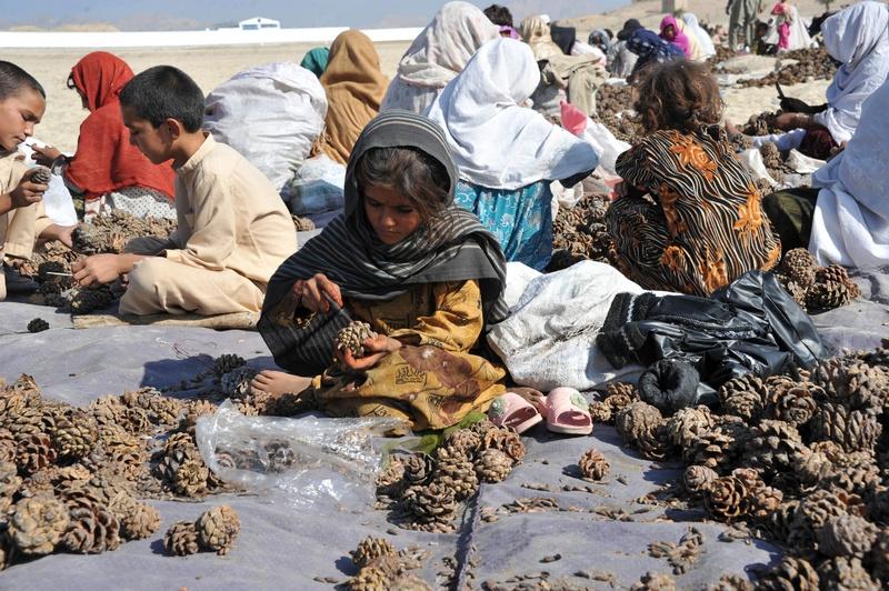 Джалалабад, Афганістан, 16жовтня. Жінки і діти витягують з шишок горіхи. Сушені фрукти і горіхи є одними з найважливіших товарів в статті експорту країни. Фото: Noorullah Shirzada/AFP/Getty Images