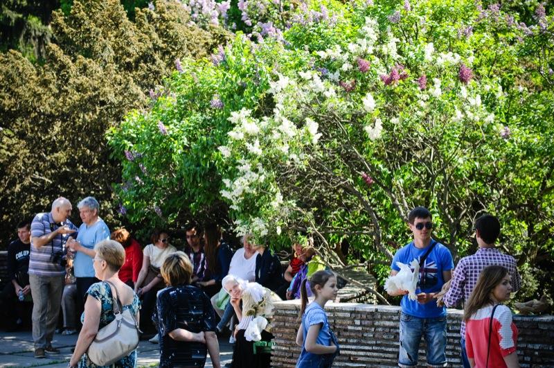 Cирень расцвела в Национальном ботаническом саду в Киеве. Фото: Великая Эпоха