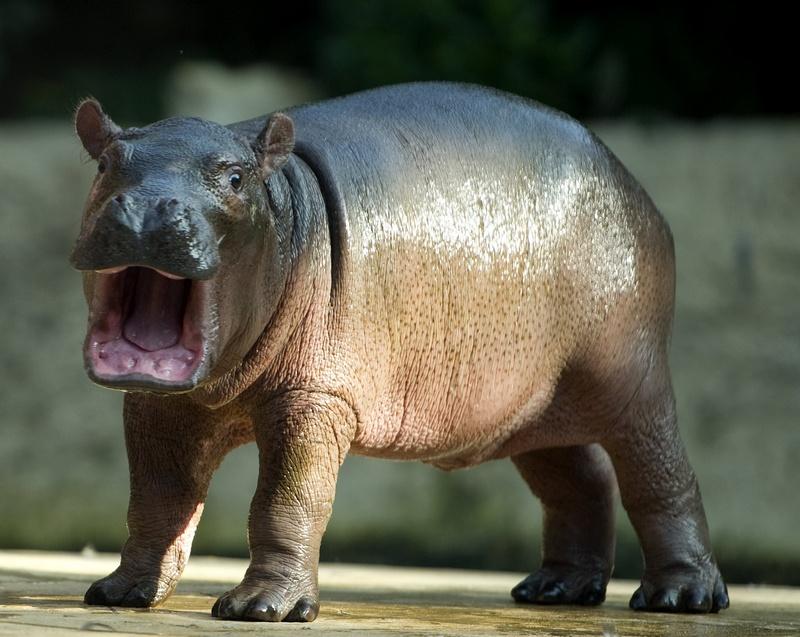 Новонароджений бегемотик у Берлінському зоопарку. Фото: ODD ANDERSEN/AFP/Getty Images