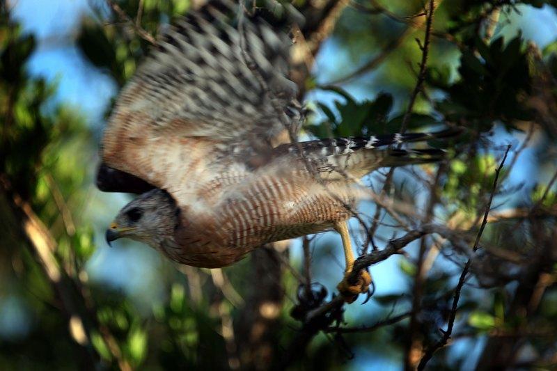 Ястреб. Национальный парк Эверглейдс, Флорида. Фото: Joe Raedle/Getty Images