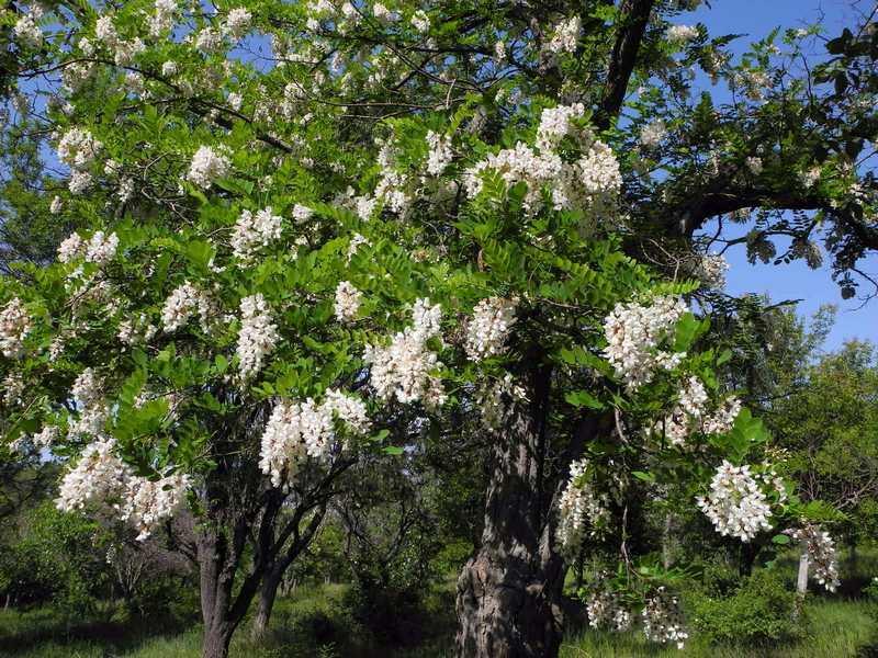 В парке Учкуевка, … «белой акации гроздья душистые». Фото: Алла Лавриненко/EpochTimes.com.ua