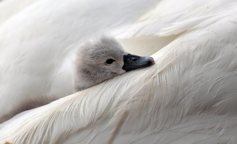 Лебедь-шипун с птенцом. Лебединый сад Эбботсбери, графство Дорсет, Англия. Фото: Matt Cardy/Getty Images