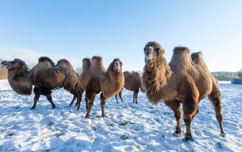 Беркентін, Німеччина, 6грудня. «Кораблі пустелі» можуть жити не тільки в пісках, а також серед снігу і льоду. Верблюди, що належать місцевій комуні набули популярності завдяки участі в телепередачах та кінозйомках. Фото: Markus Scholz/AFP/Getty Images