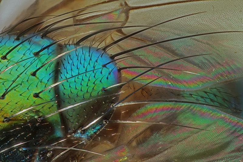 Гра кольору на тілі мухи «Звичайна зелена падальниця». Показані тонкоплівкова та багатошарова інтерференції, а також дифракція світла. Фото: Rudolf Buchi/Eglisau, Switzerland
