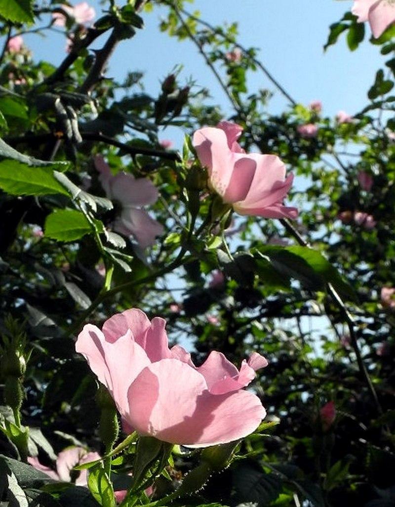 Севастополь: парк Учкуївка, квіти шипшини. Фото: Алла Лавриненко / EpochTimes.com.ua