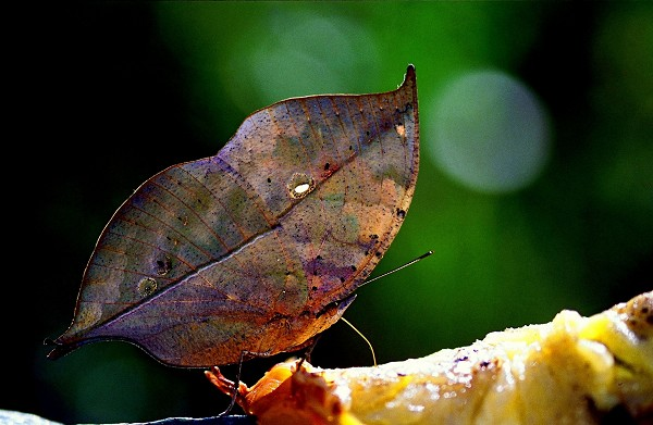 Бабочки Kallima inachus со сложенными крыльями выглядят точь в точь как сухие листья на ветке. фото с еросhtimes.com.