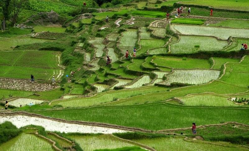 Чангу Нараян, Непал, 5 липня. З приходом мусонів у країні розпочався сезон посадки рису. Фото: PRAKASH MATHEMA/AFP/Getty Images