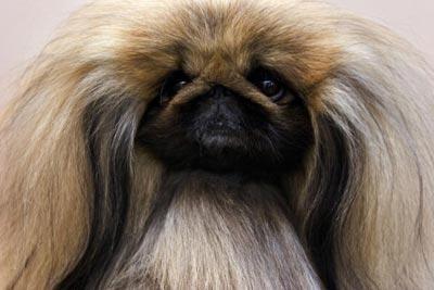 Пекінес, що належить Карол Райс, готовий до виставки собак у Нью-Йорку. Фото: Michael Brown/Getty Images