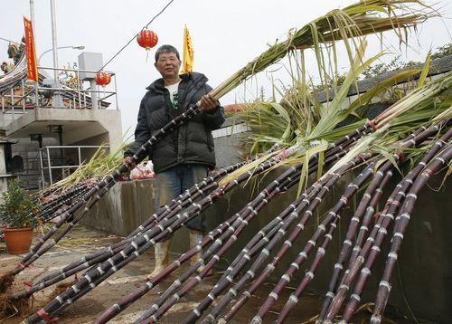 Жители уезда Цзинмэнь китайской провинции Фуцзянь следуя своим обычаям, перед Новым годом покупают сахарный тростник, являющийся символом развития и повышения человека во всех областях. Фото: Центральное агентство новостей