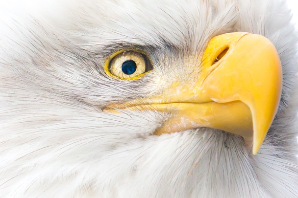Взгляд белоголового орлана. Фото: John Chaney/travel.nationalgeographic.com