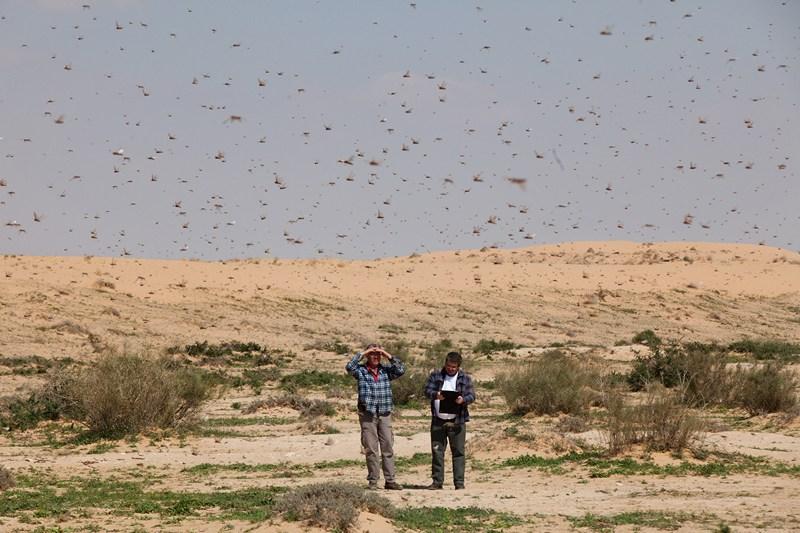 Кмехин, Израиль, 6 марта. Миллионы особей саранчи атаковали Ближний Восток. Фото: Uriel Sinai/Getty Images