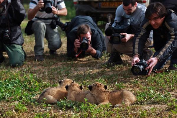 Одномесячные детёныши львицы исследуют свою среду, в свой первый пикник 21 февраля 2010 в Парке Сафари Рамат-Гана около Тель-Авива, Израиль. Фото David Silverman/Getty Images