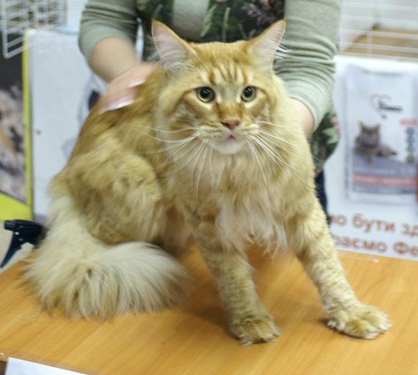 Международная выставка кошек прошла в Харькове. Фото:Юлия Ламаалем/The Epoch Times