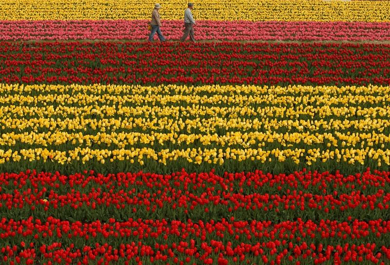 Тоёока, Япония, 22 апреля. В городе проходит популярный фестиваль весенних цветов, где представлены свыше 300 сортов тюльпанов. Фото: Buddhika Weerasinghe/Getty Images