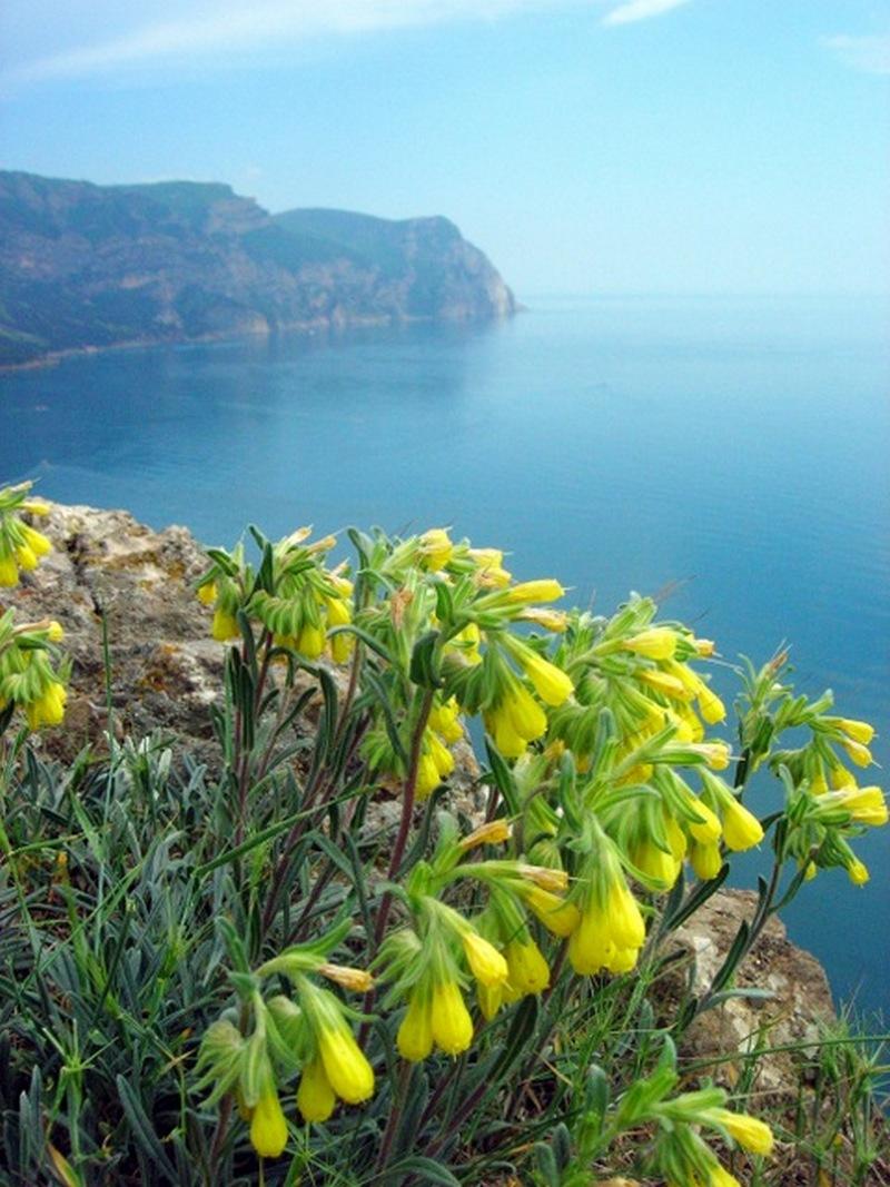 Жёлтые колокольчики оносмы, Балаклава. Фото: Алла Лавриненко/Велика Епоха