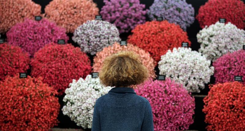 Лондон, Англія, 2 липня. Хемптон Корт готується до відкриття 23-го сезону найбільшої в світі виставки квітів. Фото: Peter Macdiarmid/Getty Images