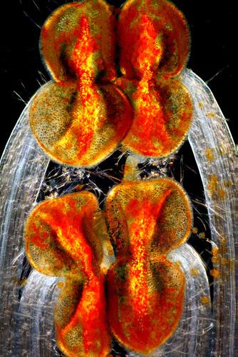 8-е місце. Пильовики і нитки тичинок яснотки рожевої. Фото: Edwin Lee/Carrollton, Texas, USA