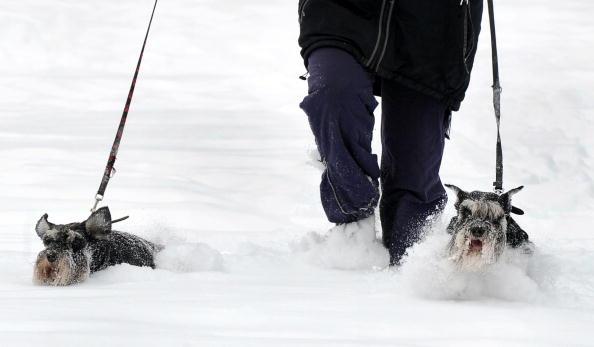 Хозяйка выгуливает своих собак. Минск. 2 февраля 2010. Фото:: ВИКТОР ДРАЧЕВ AFP/Getty Images