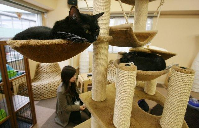 Кошки продлевают жизнь своих хозяев на 10 лет. Кошачье кафе Nekorobi Cat Cafe в Японии. Фото: Junko Kimura/Getty Images