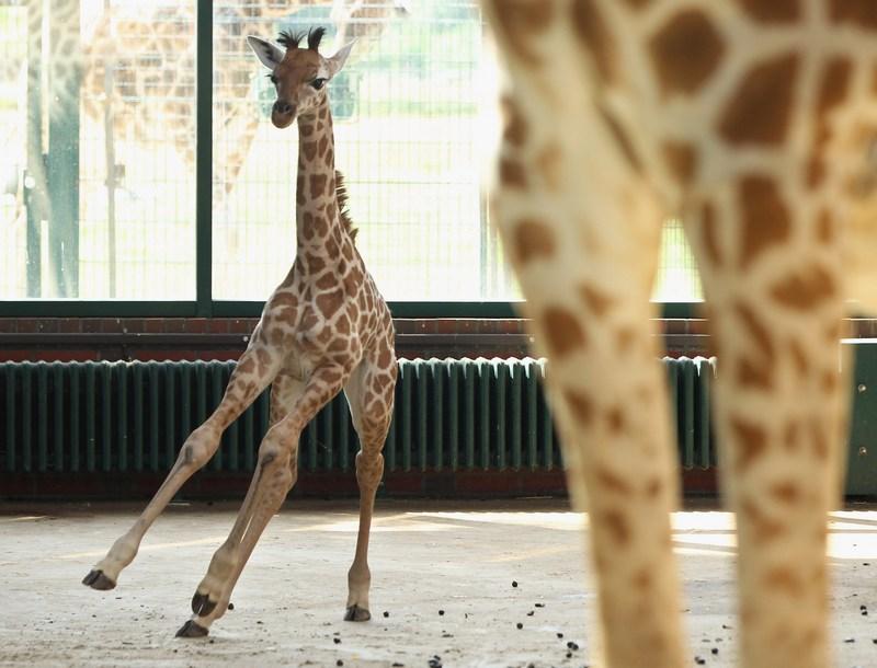 Берлін, Німеччина, 29 червня. У місцевому зоопарку на світ з'явилося дитинча рідкісної породи жирафів Ротшильда. Фото: Sean Gallup/Getty Images