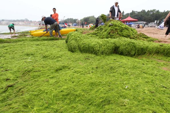 Уборка водорослей на побережье Циндао, провинция Шаньдун. Фото: ChinaFotoPress/Getty Images