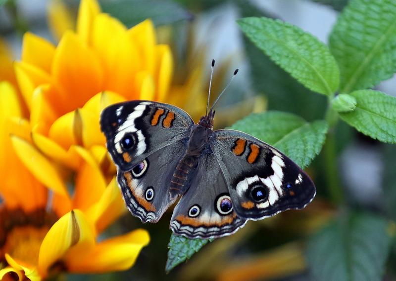 Сан-Франциско, США, 8 мая. В парке «Золотые ворота» проходит выставка «Бабочки и цветы», на которой представлено более 20 видов североамериканских бабочек. Фото: Justin Sullivan/Getty Images