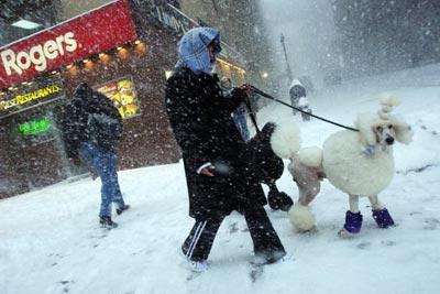 Джорджиан Девіз зі штату Огайо вигулює своїх улюбленців, пуделів Охла (чорний) та Паркер (білий) перед виставкою собак у Нью-Йорку. Michael Brown/Getty Images