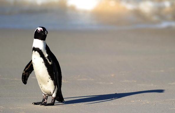 Пингвины - самые закаленные птицы. Фото:JEWEL SAMAD/Getty Images