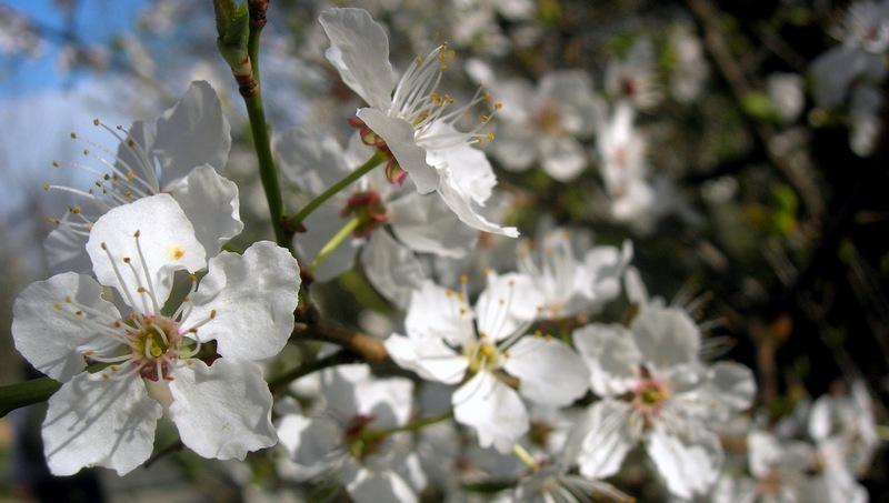 Цвітіння фруктових дерев і чагарників. Фото: Алла Лавриненко/EpochTimes.com.ua