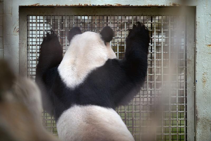 Панда Ян Гуан заглядывает в вольер Тянь Тянь. Фото: Jeff J Mitchell/Getty Images