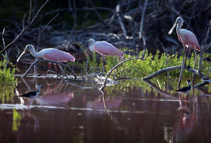 Розовые колпицы (семейство ибисов). Национальный парк Эверглейдс, Флорида. Фото: Joe Raedle/Getty Images