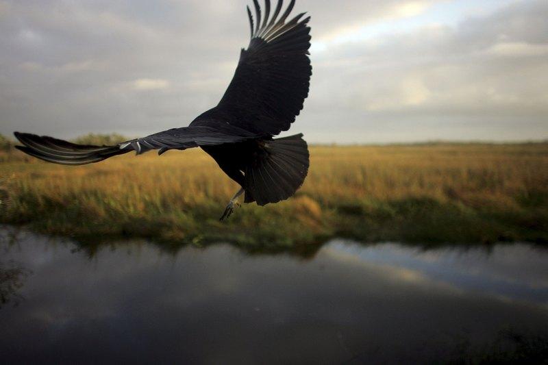 Черный гриф. Национальный парк Эверглейдс, Флорида. Фото: Joe Raedle/Getty Images