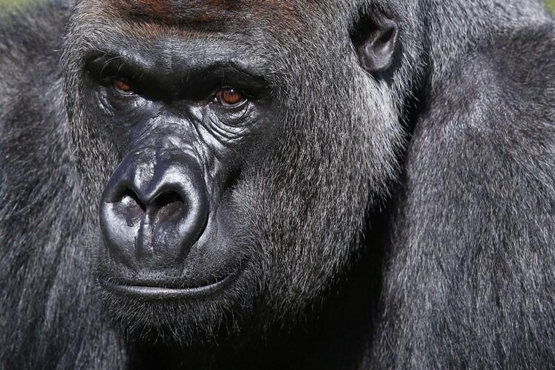Горилла Кумбука в Лондонском зоопарке. Фото: Oli Scarff/Getty Images